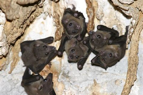 Bats in Cave Bat Facts and Information