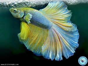 10 best Colorful Fish images on Pinterest Colorful fish