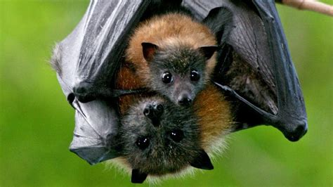 Ku ring gai Bat Conservation Society invites locals to