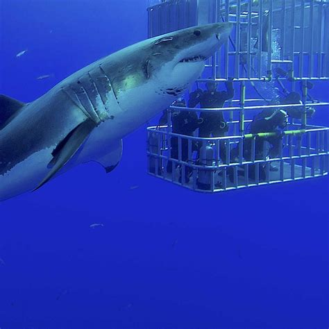 Cage Diving Holidays Dive Worldwide