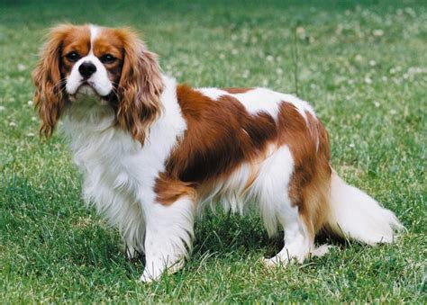King Charles Spaniel photo and wallpaper Beautiful Cute King Charles