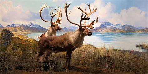 Caribou (Grant Caribou)