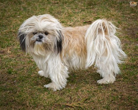 Shih Tzu Dog Breed Information, Buying Advice, Photos and