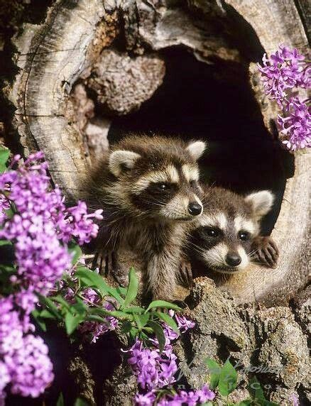 1814 best Raccoons images on Pinterest Beautiful