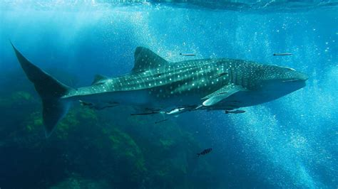 The Whale Shark in Thailand Whaleshark diving in Thailand