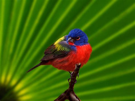 Painted Bunting Arch Creek Park & Museum