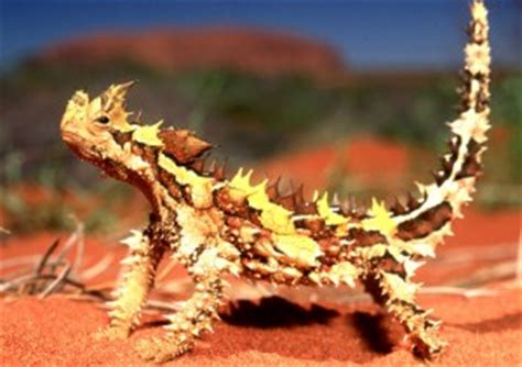 Fun Facts About Thorny Devils
