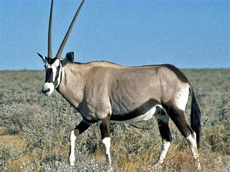 Oryx Wallpapers Animals Town