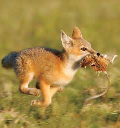 Pictures of Foxes eating rabbits and mice Animals eating