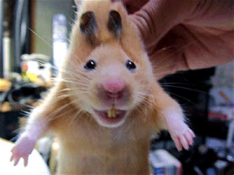 Hamster gif • DAS Hamster Forum