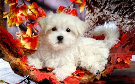 Beautiful Cute Puppies Wallpapers ~ Free HD Desktop