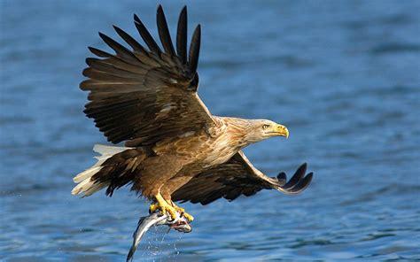 Nature birds prey bald eagles hunting sea wallpaper