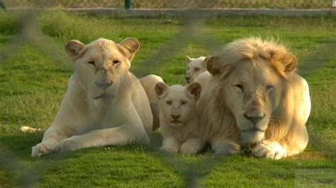 Lions, tigers become problem pets in the Gulf CNN