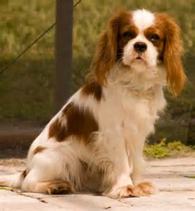 King Charles Spaniel Cocker Spaniel Mix cavalier king charles spaniel