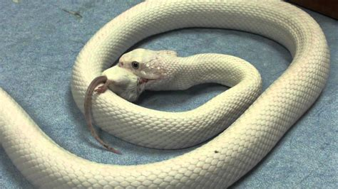 White snake eating a white mouse / Serpiente blanca
