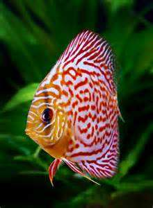 Freshwater Fish Livestock Discus & African Cichlids