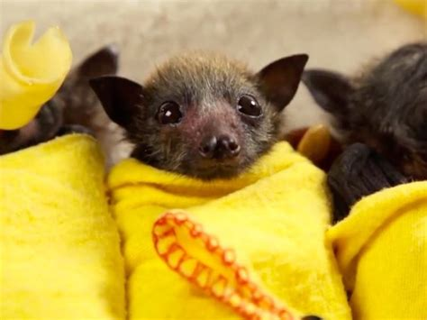VIDEO: Bat burritos! Australian Bat Clinic saves baby bats