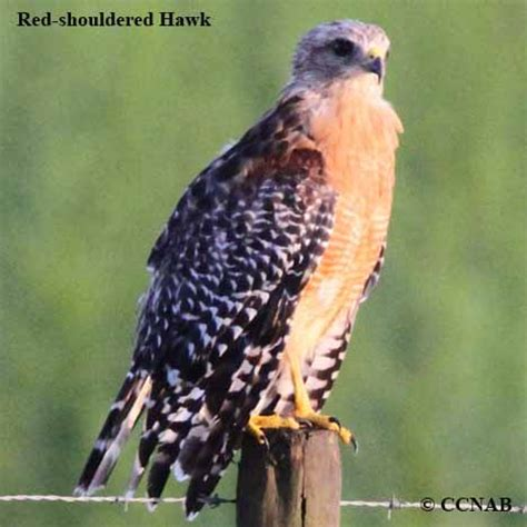 Hawks North American Birds Birds of North America