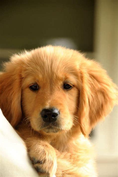 golden retrievers baby golden retriever puppy baby golden retrievers