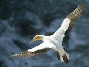 Pics Photos Gannets Birds Sea Flock Wallpapers