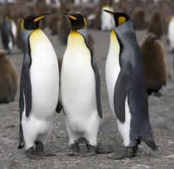 Archivo:Manchot royal King Penguinjpg Wikipedia, la enciclopedia