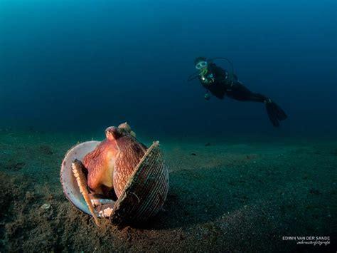 Coconut Octopus in Lembeh Strait Murex Dive ResortsMurex