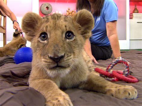 Where Can I Pet A Lion Cub Best Image Konpax 2017