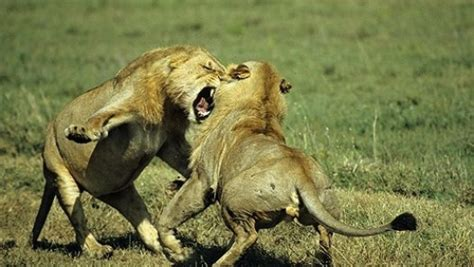 Lions Dangerous Attack on Animals Lions fighting to
