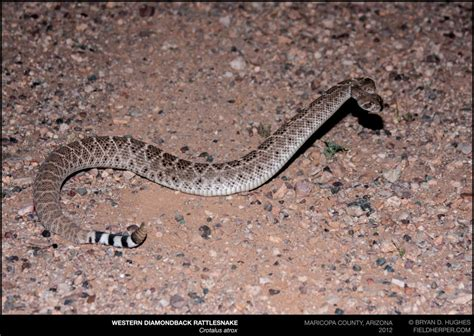 Western Diamondback Rattlesnake: The Most Common Snake in