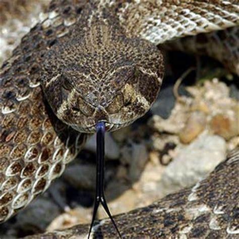 Western diamondback rattlesnake The Animal Facts