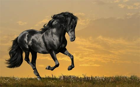 Black Horses HD Wallpapers Horse Desktop Wallpapers HD