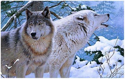 wolf 4k ultra hd wallpapers HD Wallpaper