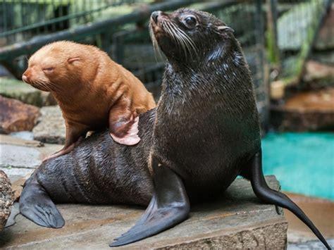 black seal and baby albino seal pup Global Animal