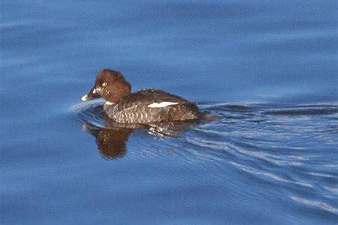 Diving Ducks, Aythyinae with Goldey Eyes, Bucephala