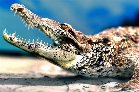 American Alligator Biography And Fresh Images 2013
