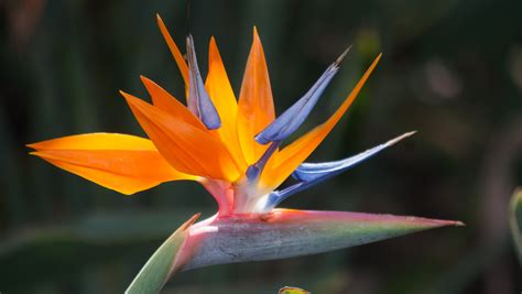 File:Bird of Paradise what a lovely flower! (8017323665