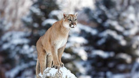 Possible mountain lion spotted near Weiser High School? KBOI