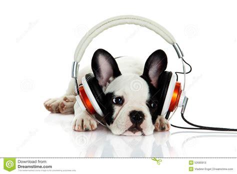 French Bulldog With Headphone Isolated On White Background
