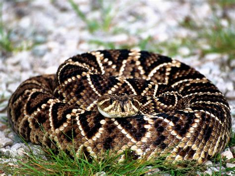 Diamondback Rattlesnake Phillip's Natural World