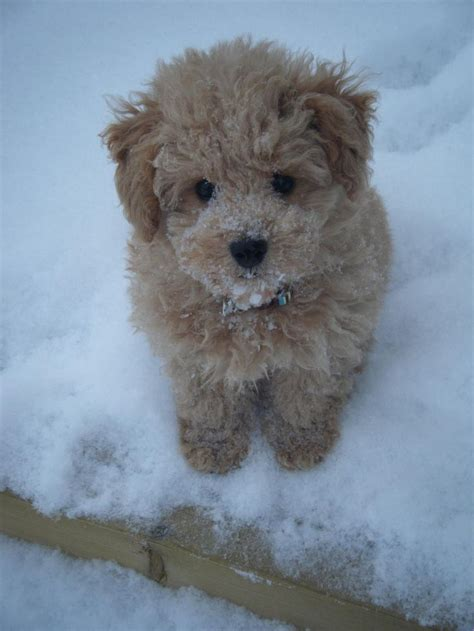 The 25 best Hypoallergenic dog breed ideas on Pinterest