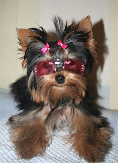 All List Of Different Dogs Breeds: Yorkie Dogs Small Dog