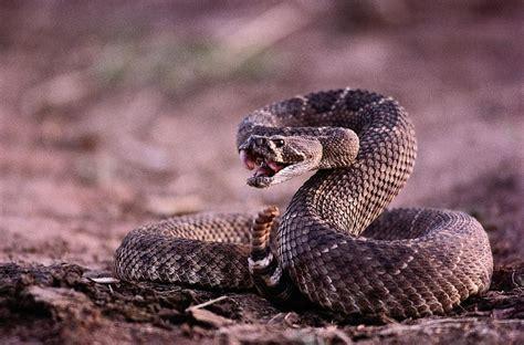 Diamondback Rattlesnake Crotalus Photograph by Joel Sartore