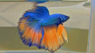The Bettas4all Standard incl gallery of over 40 Siamese