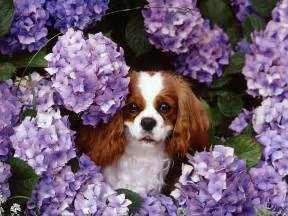Another Picture of cavalier king charles spaniel puppy pictures :