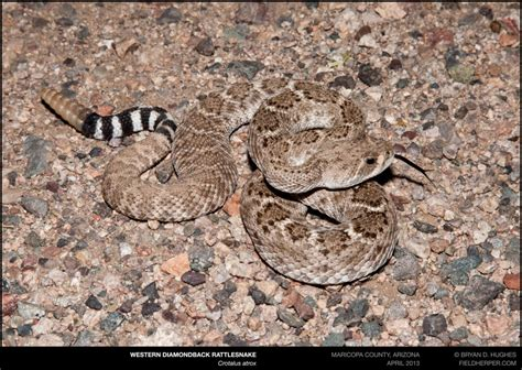 snake removal Archives Rattlesnake Solutions