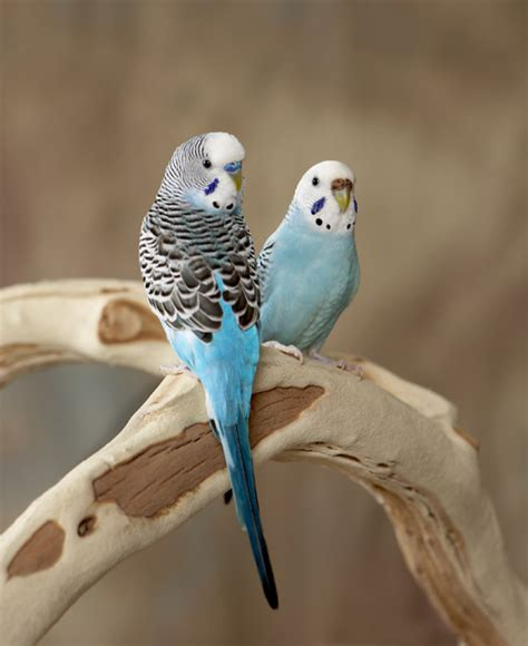 Caring for your pet bird feeding, cages, mates