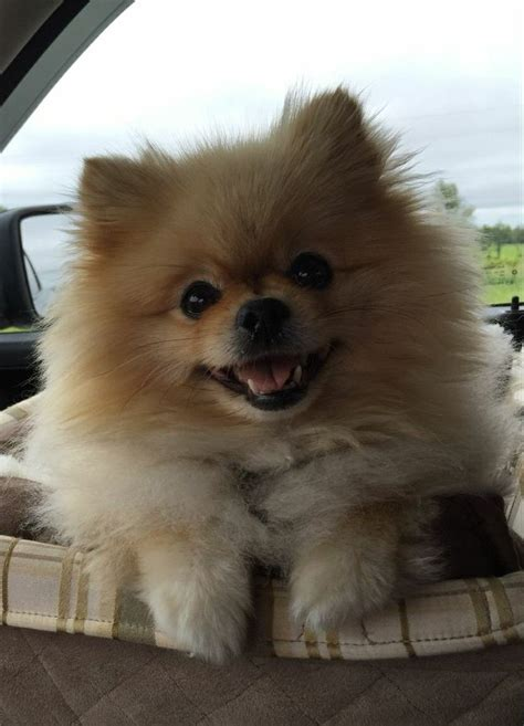 Best 25 Pomeranian dogs ideas on Pinterest Pomeranian