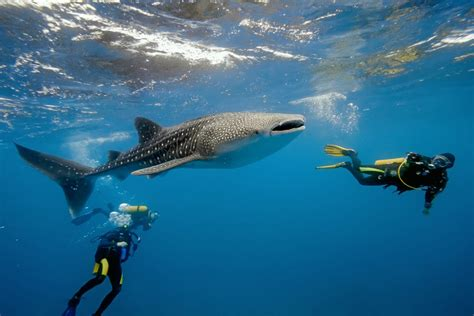 Its Time To Book For Belizes Unique Whale Shark Adventures