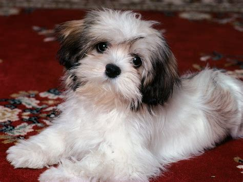 Shih Tzu Puppies Free Wallpaper Pictures Of Animals 2016