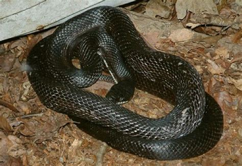 Black Rat Snake Information & Facts Snakes Pinterest